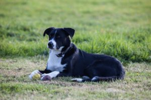 1-polly-the-collie