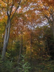 2-beech-trees